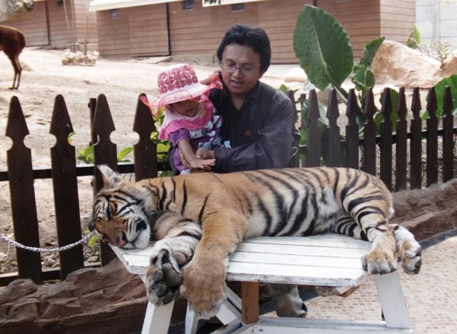 Atraksi memegang harimau di jatimpark 2